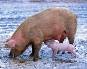 pig-139712_1920
